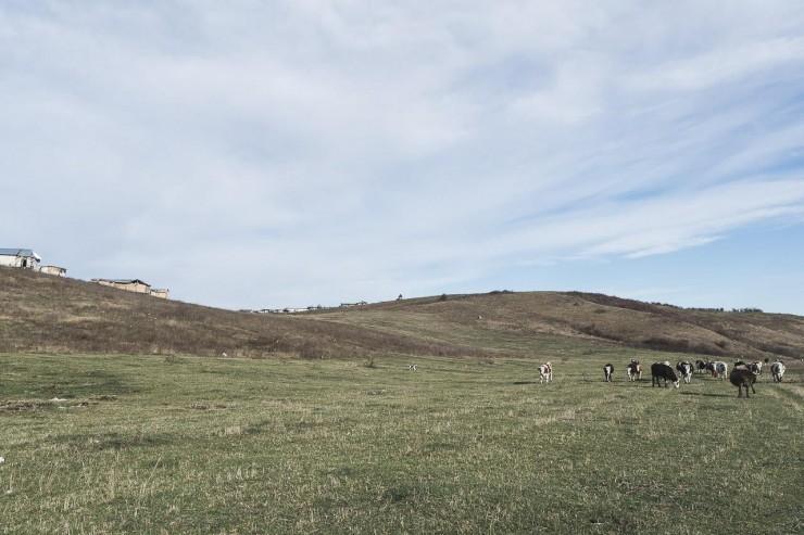 Tehenek legelnek nap mint nap közvetlenül a csurgalék mellett, a szeméthegyek lábánál. Fotó: Kilin Zs.