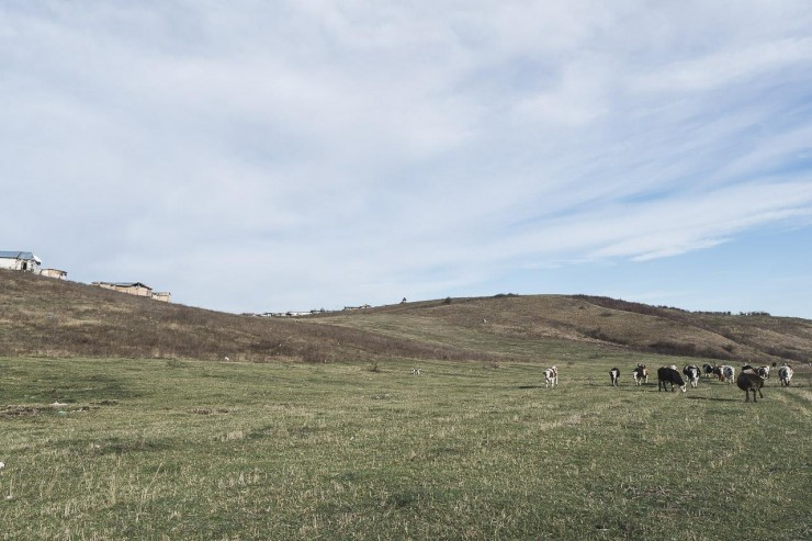 Cows are put out to pasture every day in the vicinity of the leachate, at the foot of the landfill. Photo: Kilin Zs.