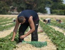Óránként 35 kiló epret szedsz, a profitot a fizetésedből csípik le
